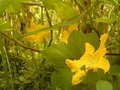 Flor (Photography&Design) Tags: naturaleza hojas flora plantas foto guatemala flor vida fotos belleza tierra creciendo vivir florecer floreciendo guatemagica expresarvivir