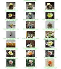 Bild 004 (sambucus2009) Tags: astrophytum kikko asterias superkabuto krausei