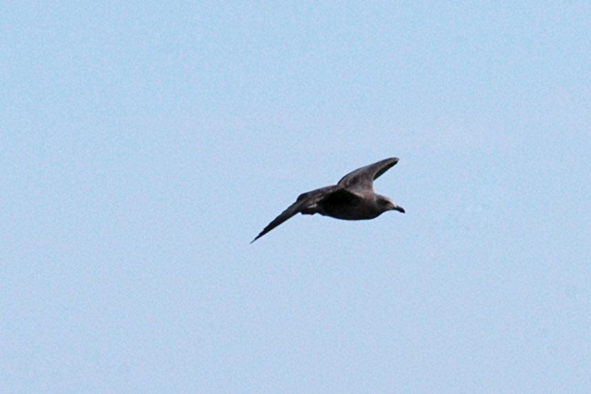 greygull