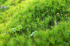 Carpet of moss (MyBukit) Tags: mountains macro les moss mech ukraina ukrajina hory karpaty carpathy polonina zakarpattia svidovec zakarpat