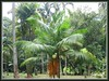 Central foreground is Dypsis leptocheilos (Redneck Palm, Teddy Bear Palm)