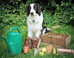 The Working Dog! ~ For Karen :) (meg price) Tags: dog pet collie sheepdog border bordercollie barney gardener blueribbonwinner abigfave theunforgettablepictures goldstaraward