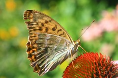 Enjoying (Glockenblume) Tags: summer macro nature butterfly garden insect echinacea coneflower soe sonnenhut naturesfinest argynnispaphia topshots golddragon natureselegantshots panoramafotogrfico thebestofmimamorsgroups updatecollection
