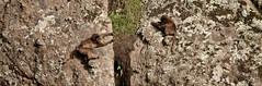 20090901-IMG_1601 (Robin100) Tags: africa animal mammal baboon ethiopia primate baboons gelada geladababoon guassa guassaplateau