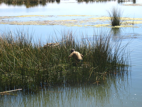 Harvesting reeds on Lake Titicaca