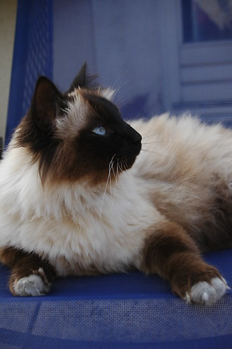 the color of our cats la couleur de nos chats birman cats lovers flickr. Black Bedroom Furniture Sets. Home Design Ideas