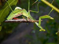 Oh Boy! (Ricky the Rocket) Tags: nature southcarolina insects bugs mating prayingmantis rickytherocket