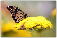 Monarch Butterfly (Wind Home) Tags: summer oregon butterfly insect pretty monarch platinumheartaward
