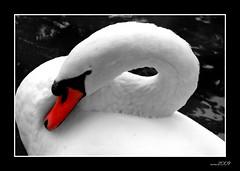dreaming Swan