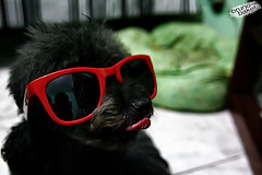 Tina... (baketa) Tags: red dog pet glass tongue style perro lingua preta tina quarto rayban culos camel careta cachorra cadela baketa clubefotorio brunomendes