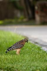 Looking down (holidayslush) Tags: red bird pentax florida hawk shoulder ocala