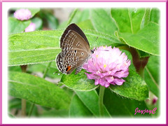 Chilades pandava (Plains Cupid, Cycad Blue Butterfly) nectar-feeding on Bachelor's Button flowers