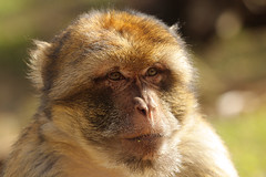 Berberaffe / Barbary Macaque (Macaca sylvanus) (Sexecutioner) Tags: portrait cute nature netherlands animal animals digital canon zoo monkey tiere colorful wildlife natur mona gibraltar primate 2009 apenheul tier niederlande magot primat macaca barbarymacaque berberaap macacasylvanus primaten cercopithecidae cercopithecinae bertuccia  berberaffe berberia berberape macacodegibraltar monodeberbera macaqueberbre scimmiadibarberia  makakoa copyrightsexecutioner berberabe magotas berberiebei  berberapa makakmagot berbermakk magotbezocas makakgolf magotti berberiapina      mrticotddjibraltaraffe