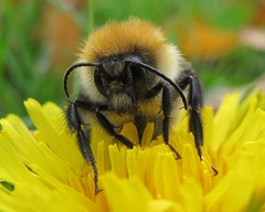 Dozy Autumn Bee (John Spooner) Tags: macro yellow canon powershot dandelion bee hairylegs antennae g11 canonpowershotg11 canong11