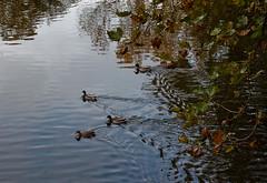 IMG_3669 (NadineVdg) Tags: belgie herfst vijver eenden grootbijgaarden
