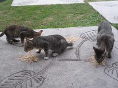 Cats Eating Biryani - Melaka, Malaysia