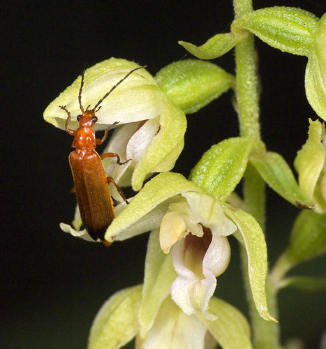 Epipactis, abreuvoirs à insectes 4063173664_39967d8a48