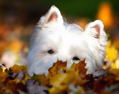 Buried (paulh192) Tags: autumn dog fall home leaves kirby michigan westie terrier westhighlandwhiteterrier grandrapids cutedog