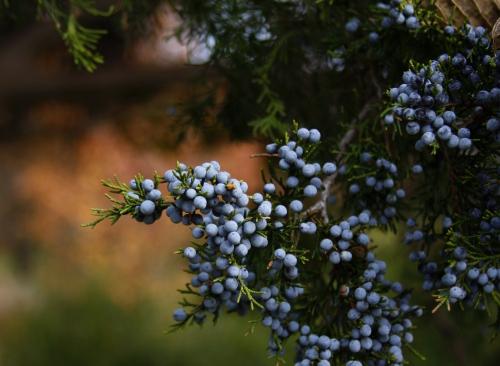 pine.berries