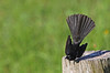 Willie Wagtail : Wag, Wag, Wag ... (Clement Tang **bbbusy**) Tags: bird nature wildlife australia victoria avian wagtail birdwatcher closetonature williewagtail banksiapark concordians slbdisplaying
