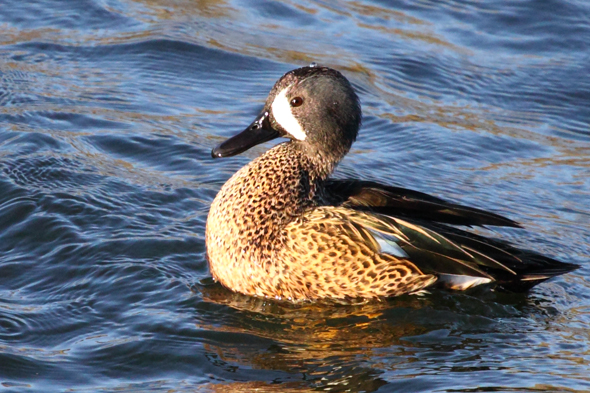 19_bluewingedteal2