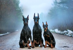 Mystique (Devilstar) Tags: dog black german docked pinscher deutscher pincher saksa  worldwinner pinter cropped timspiriteyesofthetiger