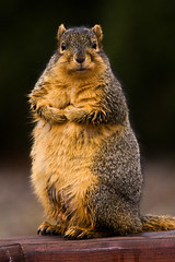 Standing Tall (James Marvin Phelps) Tags: urban cute animal photography rodent furry backyard squirrel michigan wildlife fox foxsquirrel mandj98 jmpphotography jamesmarvinphelps michiganfoxsquirrel