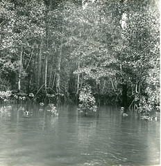 Mangrove swamp at Dago Bay