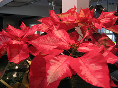 ice punch poinsetta