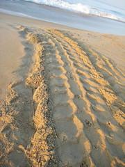 leatherback sea turtle tracks (ABC Dolphin Trainer Academy) Tags: mexico seaturtle puertoescondido leatherbackseaturtle seaturtlerelease seaturtlehatchery seaturtlenesting