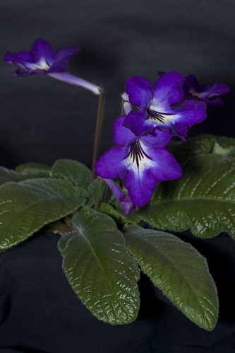 Streptocarpus 'Royal Grape Fizz'