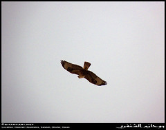 Air-Diving Long-legged Buzzard, Buteo rufinus subsp. cirtensis, in Hamrair Mountains, Dhofar (Shanfari.net) Tags: winter mountains nature lumix raw natural panasonic falcon buzzard oman fz zufar rw2 buteo salalah buteorufinus sultanate dhofar  khareef   longlegged        governate rufinus dofar fz38 fz35 dmcfz35  hamrair