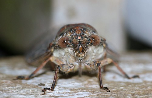 Megapomponia imperatoria = Pomponia imperatoria (Cicadidae)