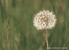 make a wish (Urban.Photography) Tags: plant nature spring pittsburgh bokeh seed fluffy fluff dandelion wish zuiko legacylens 43omadapter weedwildflower 50mmf35macrolens