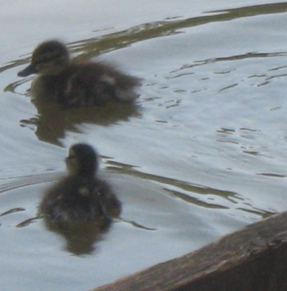 23-05-2011-baby-ducks