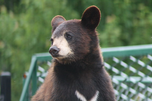 [163/365] Black Bear by goaliej54