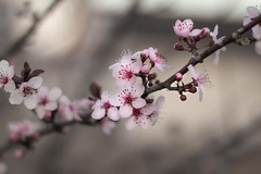 Spring (Benjamin Coy) Tags: life pink blur macro tree sc nature weather closeup canon myrtlebeach spring branch blossom bokeh southcarolina coastal pear bud 18 limb floweringtrees sigma50mm smalltree t4i grandsrand