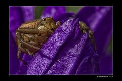 Big Ed (Thomaniac) Tags: flower macro closeup fauna canon eos spider natur violet crab lila blume nahaufnahme krabbenspinne efs60mmmacro lens00025 450d notyournormalbug thomaniac