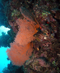 red sea fan (Abdullah Samman) Tags: fish underwater redsea scubadiving coralreef underwatercamera marinelife underwaterphotography            abdullahsamman