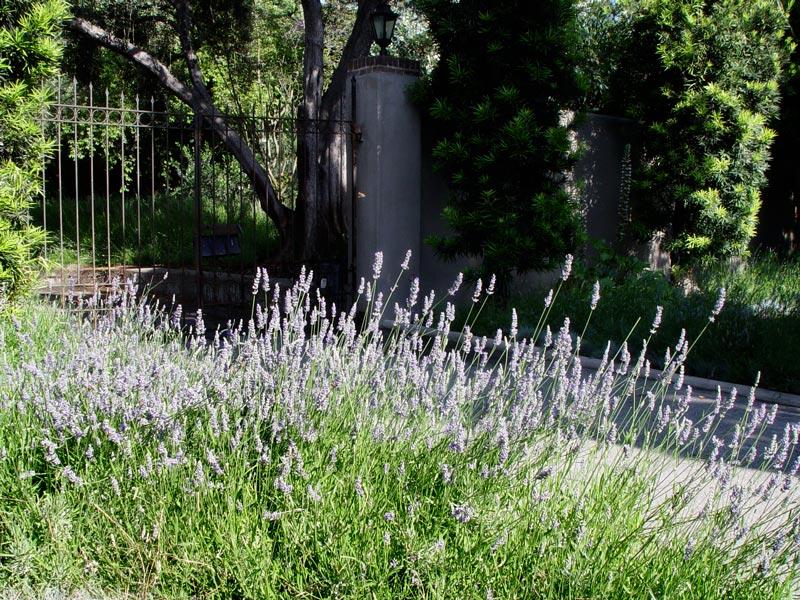 Lotsa lavender