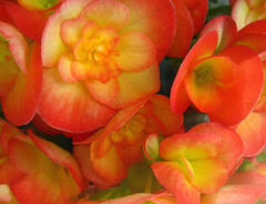 Blazing Begonias (The Farmers Daughter) Tags: flowers summer orange flower detail macro nature yellow closeup tangerine garden petals colorful glow bright blossom vibrant cluster blossoms sunny bunch bloom annual blooms macros blush multicolored closeups sunkissed begonias detailed grouping annuals brightpink sunkiss orangebloom