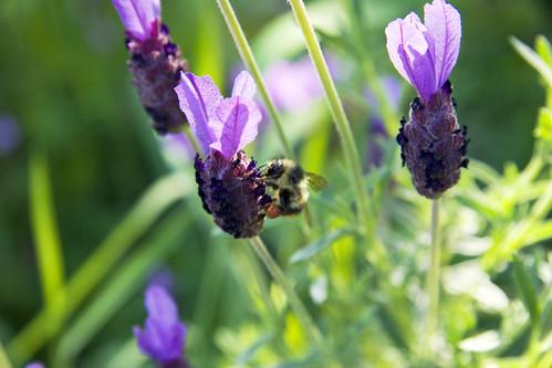 Spanish Lavender & Bumblebee