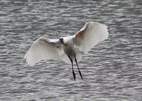 Royal Spoonbill 14-07-09