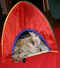 Tangie's new family sent her a gift package with a blanket and a kitty tent. All the kittens had great fun playing in and around the tent and they ran, jumped, and played hide-and-seek until they finally passed out in the tent for a mid-day nap! (Junglelure) Tags: blue red cats brown white west green phoenix girl cat asian eyes kitten aqua florida cinnamon central kittens spots leopard spotted marbled bengals f5 emerald bengal f4 milagros snowleopard rosettes leopards snows breeder f7 f6 cattery tangie snowbengal rosetted seallynx sealmink sealsepia junglelure