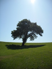 Another Candidate for The Ideal Pondering Tree