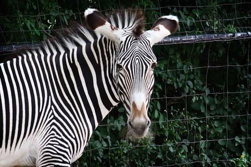 . zebra .
