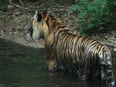 Cooling tiger