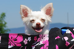 Eve (T4_photo) Tags: summer dog white chihuahua hot smile tongue nose bright          elitechihuahua