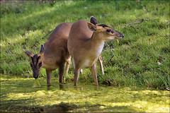 Barking Deer (Chinese Muntjac) (Foto Martien) Tags: holland netherlands dutch animal zoo arnhem nederland taiwan deer burgers fujian veluwe burgerszoo zhejiang hert gelderland dierenpark rimba southeasternchina barkingdeer reevesmuntjac muntjacdeer a350 southeastchina blaffendhert burgersdierenpark muntiacusreevesi  chinesischermuntjak chinesemuntjac subtropicalforest chinesemuntjak cerfaboyeur sonyalpha350 sigmaapo70300macro martienuiterweerd martienarnhem formosanmuntjac barkingmuntjac muntacodereeves muntjacdechine