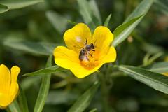 Menagerie Jardin des Plantes-75 (MissDogo) Tags: paris macro fleur zoo animaux parc abeilles menagerie jardindesplantes proxyphoto hym hyménoptères hymnoptres